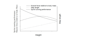 musculo-altura óptima